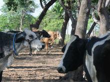 Segunda etapa da vacinação contra a febre aftosa é lançada no Piauí