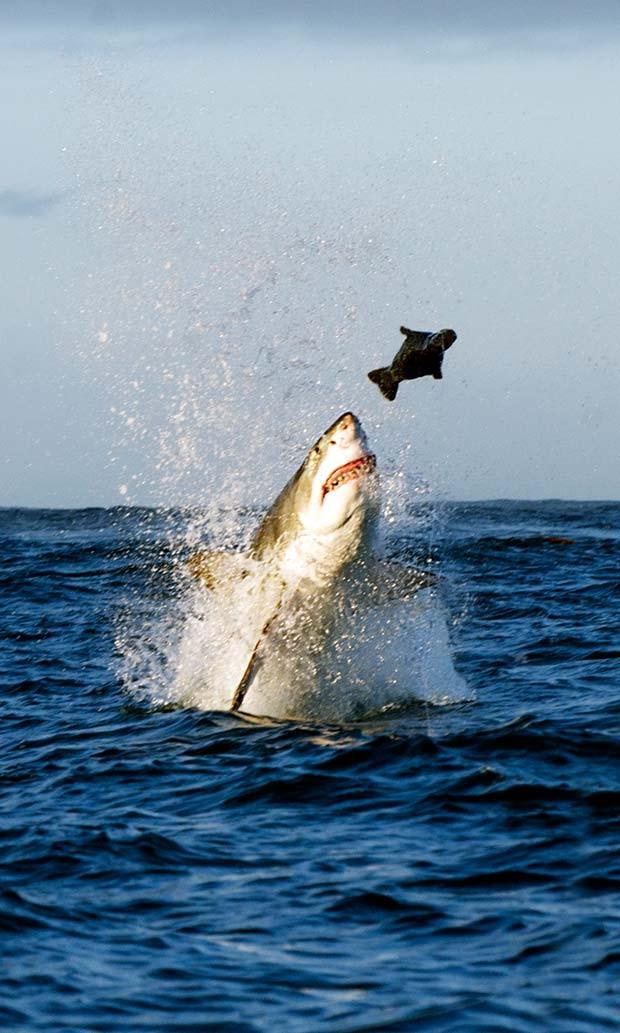 ubarão-branco projeta o corpo para fora d'água ao atacar foca  (Crédito:  Daniel Botelho)