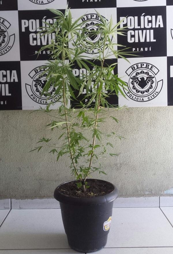 Maconha era cultivada em jarros (Crédito: Divulgação/ Polícia Civil)