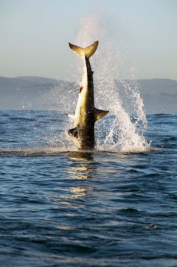 Ataque de tubarão-branco a foca é rápido e silencioso (Crédito:  Daniel Botelho)