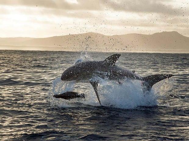 Tubarão-branco é flagrado em ação predatória na África do Sul  (Crédito:  Daniel Botelho)