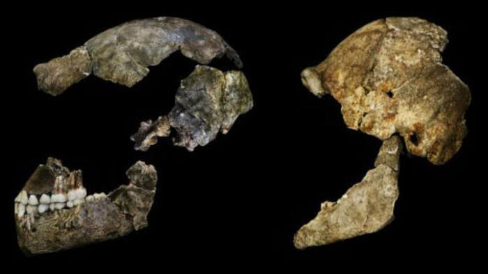 Homo naledi (Crédito: Divulgação )