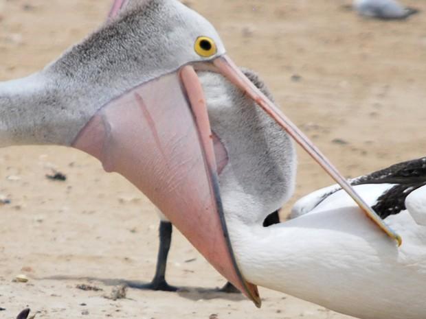 Pelicano (Crédito: Ian Turner)