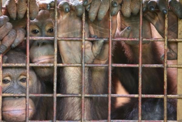 Fêmeas de orangotango estão sendo usadas como escravas sexuais e prostitutas na Ásia - Imagem 2
