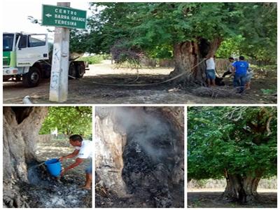 Árvore Centenária de Cajueiro da Praia é Alvo de incêndio