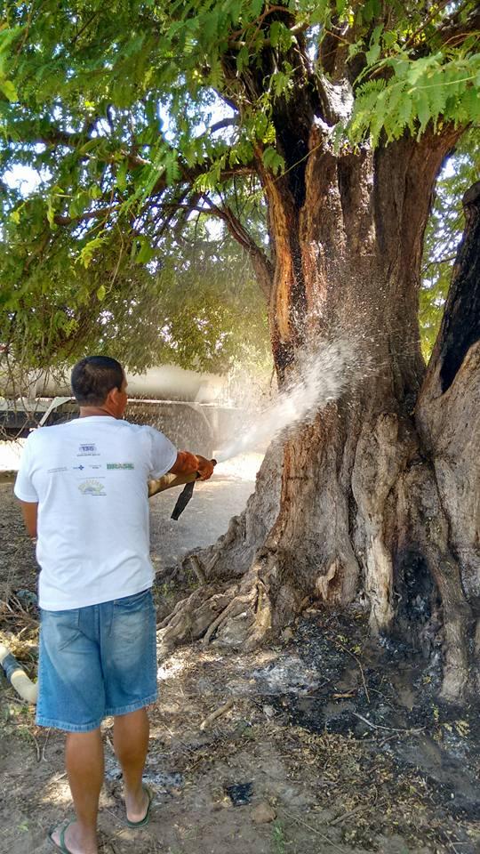 Árvore Centenária de Cajueiro da Praia é Alvo de incêndio  - Imagem 1