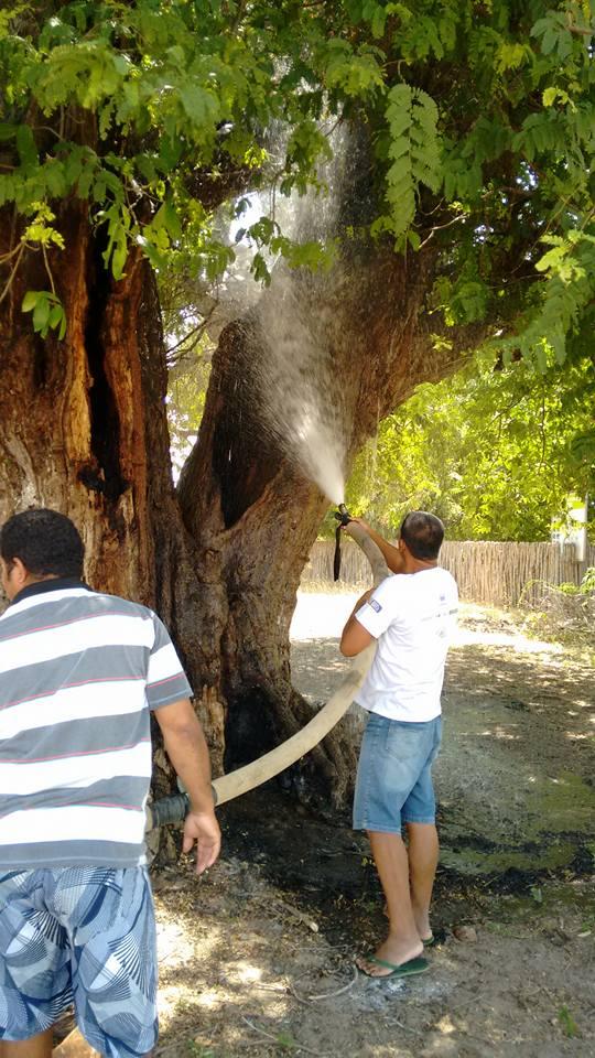 Árvore Centenária de Cajueiro da Praia é Alvo de incêndio  - Imagem 2