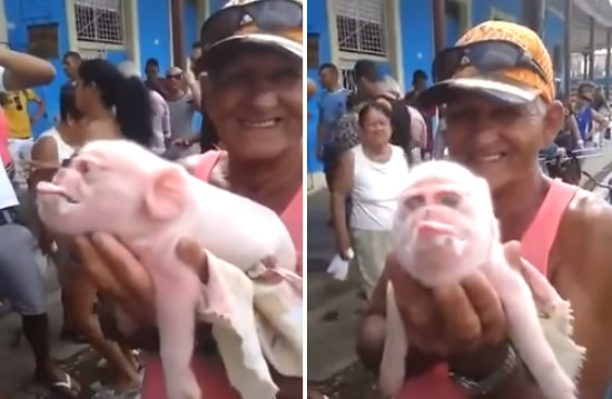 Porco com má formação genética (Crédito: Reprodução)