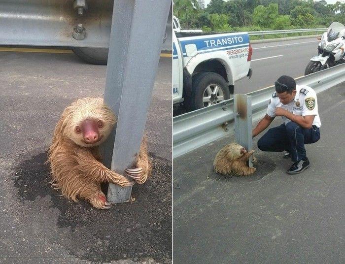 Bicho-preguiça comoveu os internautas (Crédito: Reprodução)