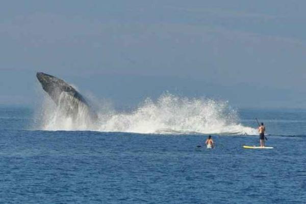 Baleia dá susto em surfistas
