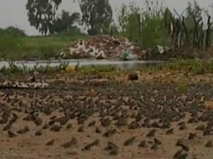Infestação de sapos (Crédito: Divulgação )