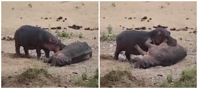Hipopótamo tenta reanimar o amigo (Crédito: Reprodução)