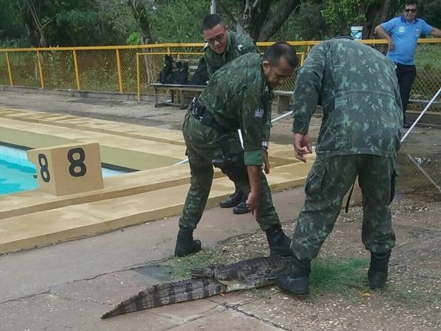 Jacaré foi capturado na Ufpi  (Crédito: Divulgação/ Polícia Ambiental )