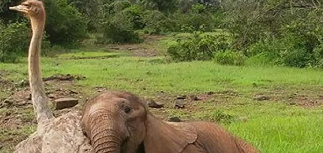 Avestruz e Elefante são melhores amigos em zoológico