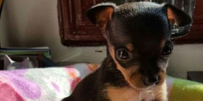 Campanha tenta ajudar cão que foi mutilado e vendido como fêmea