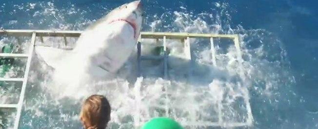 Tubarão invade gaiola de mergulhador no México; veja!