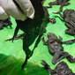 Morte de 10 mil rãs gigantes é investigada por autoridades no Peru