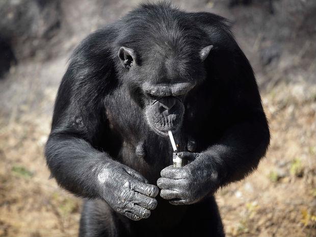 Chimpanzé fuma cerca de um maço de cigarros por dia no jardim zoológico de Pyongyang (Crédito: AP)