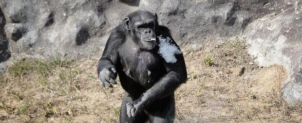 Fotos chocantes mostram chimpanzé fumando em zoo na Coreia do Norte