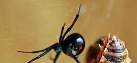 7 aranhas mais perigosas do mundo