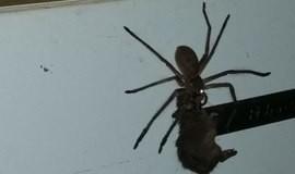 Homem flagra aranha prestes a devorar rato e vídeo apavora na web