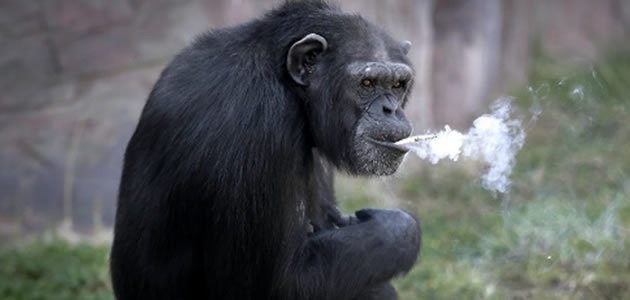 Chimpanzé fuma quase um maço de cigarro por dia