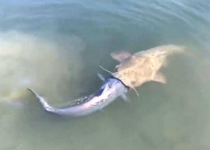 Peixe tenta devorar outro