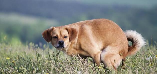 Por que o cachorro te olha quando faz cocô?