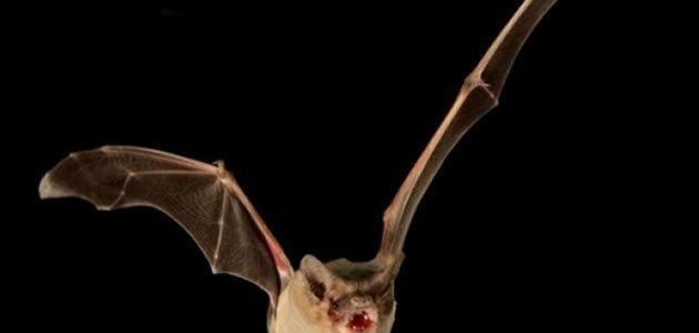 Morcego brasileiro é eleito o mais rápido do mundo
