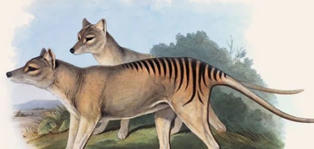 A verdade sobre reaparecimento do tigre-da-tasmânia