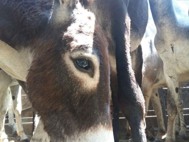 Animais serão soltos em fazenda de Remanso, na Bahia (Crédito: Reprodução)