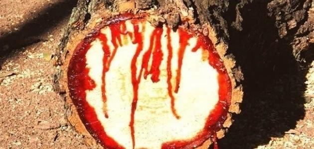 """Árvore africana """"chora sangue"""" ao ser cortada"""