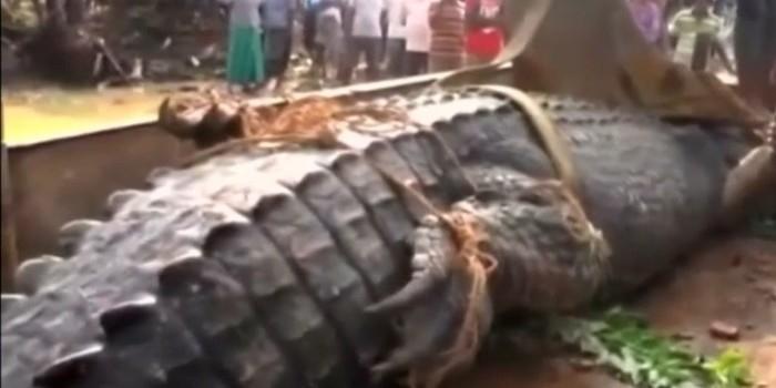 Crocodilo de 1 tonelada e 5,2 m é devolvido a rio com escavadeira