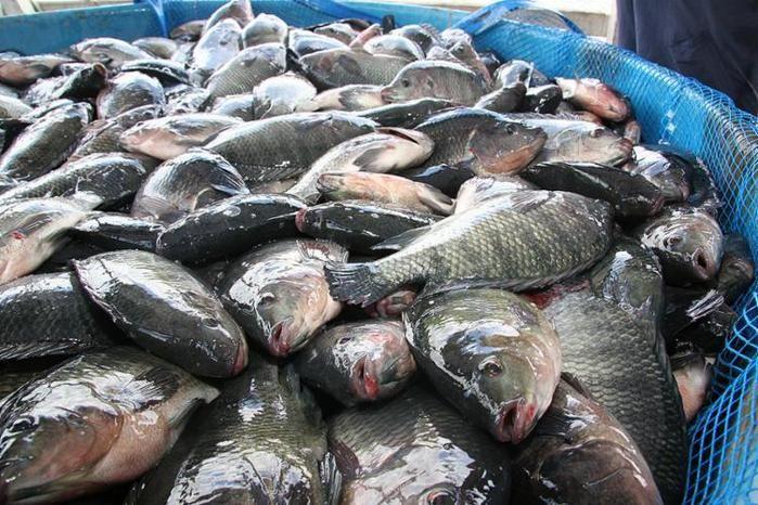 Peixes estariam transmitindo a doença misteriosa (Crédito: Reprodução)