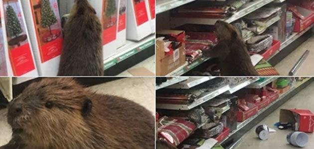 Castor é flagrado em loja buscando árvore de natal