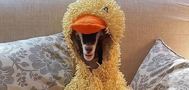 Cabra usa fantasia de pato para tratar ansiedade