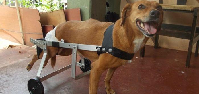 Animal usando cadeira de rodas (Crédito: Divulgação)