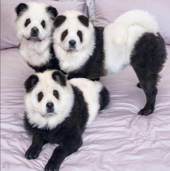 Cachorros pandas (Crédito: REPRODUÇÃO)
