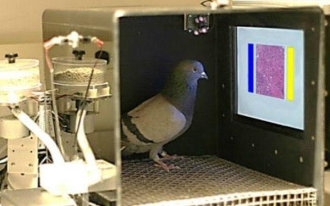 Pombos serão úteis para detecção do câncer