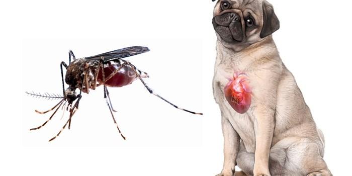 Cães também podem ser vítimas dos mosquitos (Crédito: Reprodução)