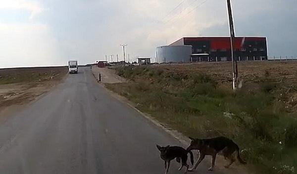 Cão tentando salvar o amigo (Crédito: Reprodução)