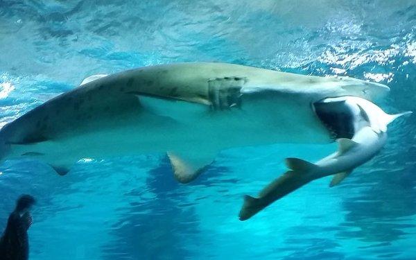 Tubarão fêmea engole macho da mesma espécie (Crédito: Reprodução)