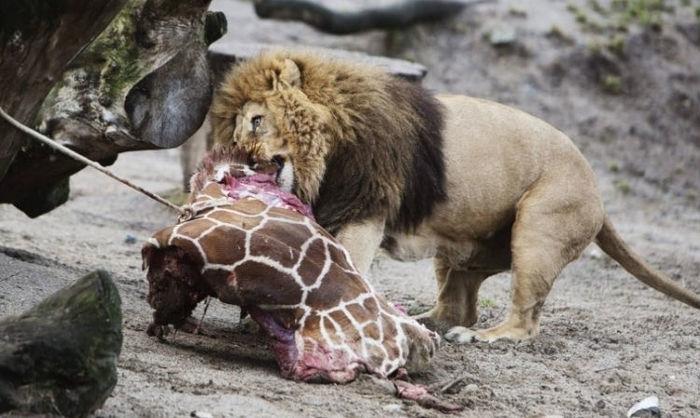 Filhote de girafa é sacrificado em zoo da Dinamarca (Crédito: Reprodução)