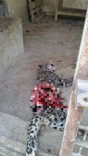 eopardo macho come sua companheira na jaula (Crédito: Reprodução)
