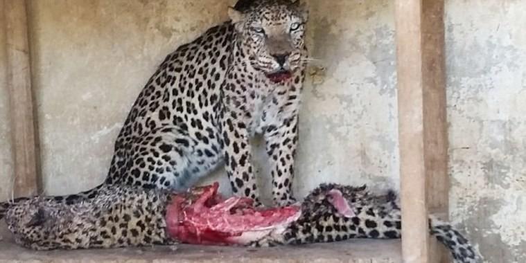 Animais famintos comem uns aos outros para sobreviver em zoo