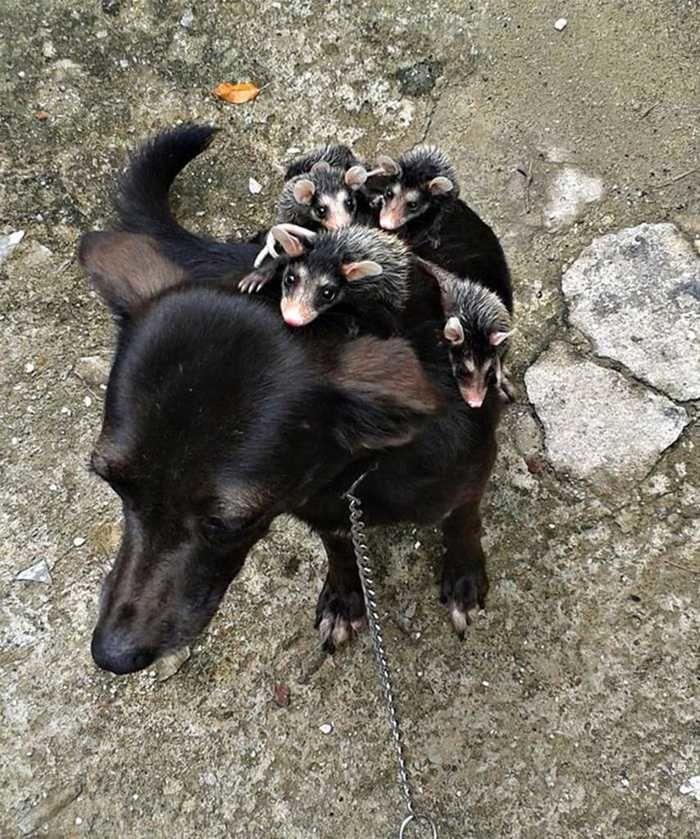 Pretinha cuida dos filhotes como se fosse dela (Crédito: Reprodução)