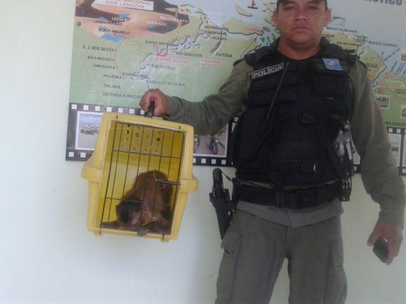 Macaco apreendido em Luís Correia (Crédito: Reprodução)