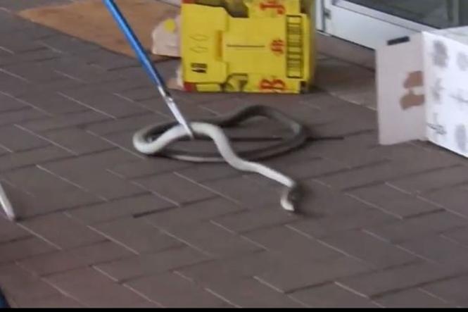 Captura da cobra (Crédito: Divulgação)