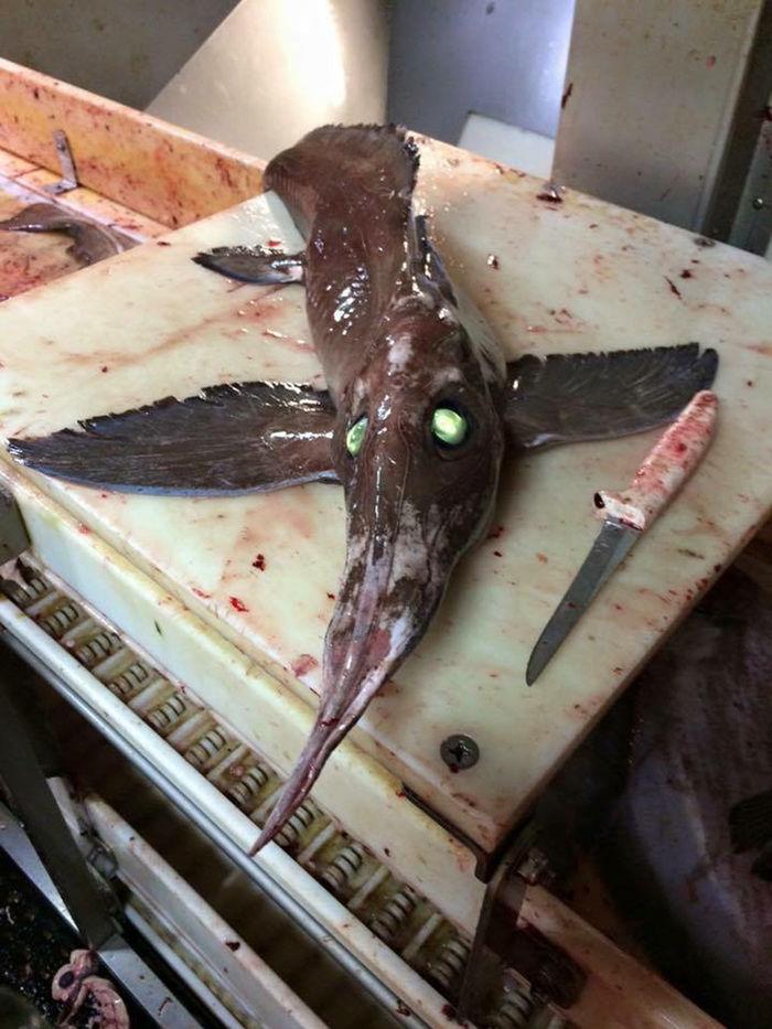 Peixe assustador intriga pescadores após ser capturado no Canadá (Crédito: Reprodução)