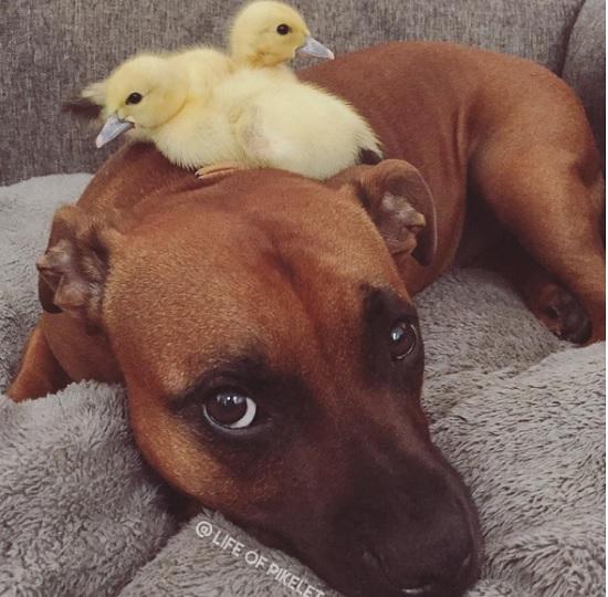 Cães 'adotam' dupla de patinhos e fazem sucesso na internet (Crédito: Reprodução)
